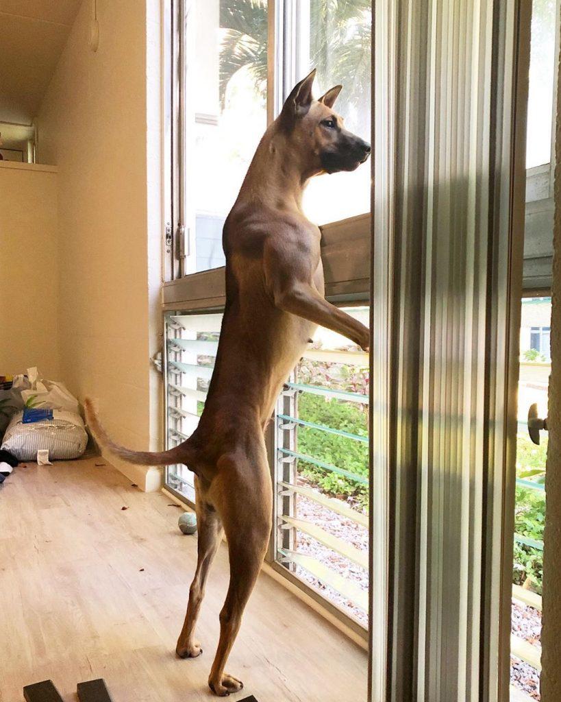 Trại chó Phú Quốc - Tất tần tật thông tin về chó Phú Quốc từ A đến Z 3