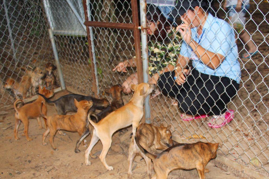 Trại chó Phú Quốc - Tất tần tật thông tin về chó Phú Quốc từ A đến Z 9
