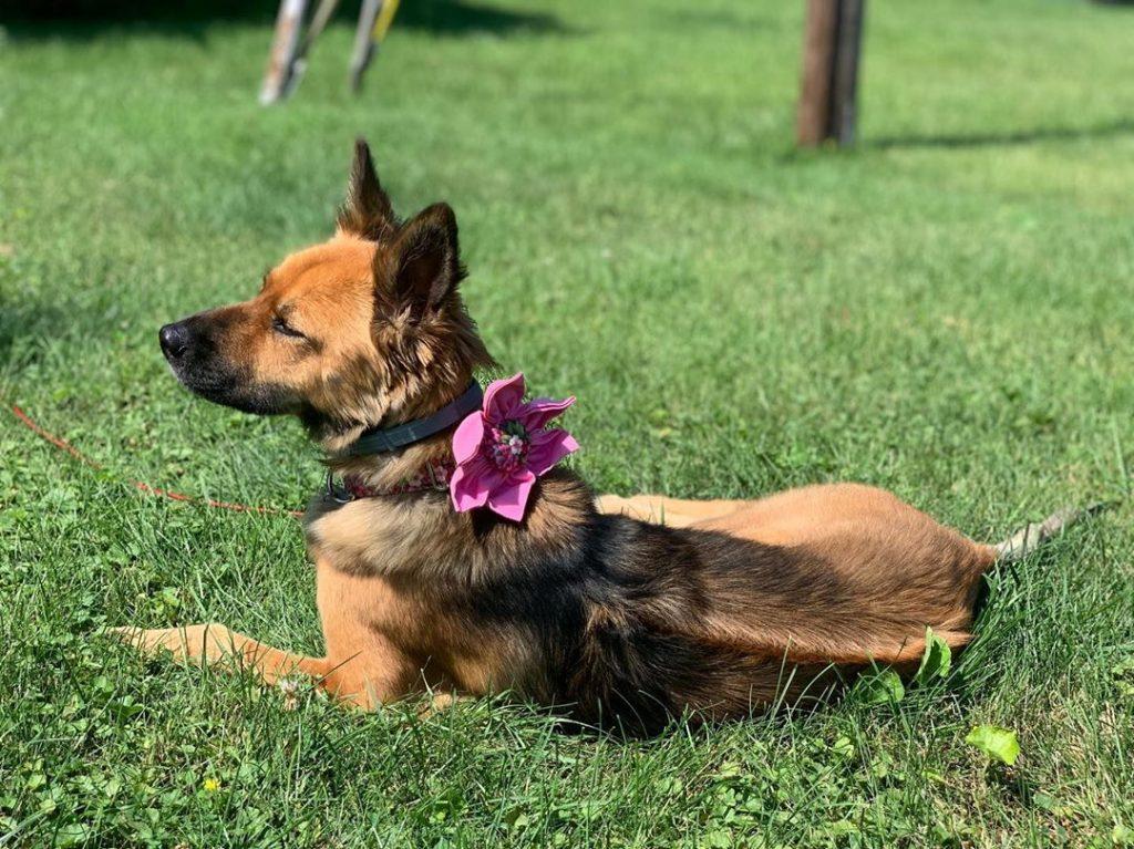 Trại chó Phú Quốc - Tất tần tật thông tin về chó Phú Quốc từ A đến Z 5